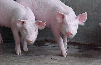 La OMS se encuentra coordinando la respuesta global a los casos reportados en humanos de influenza porcina A (H1N1) y también monitorea la amenaza de una pandemia. La información de esta página da seguimiento a la evolución de la situación.