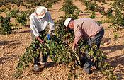 El Gobierno regional hacía efectivo a finales del pasado mes de octubre el anticipo de más de 176,5 millones de euros, beneficiando a 87.103 agricultores titulares de explotaciones agrarias en Castilla-La Mancha.