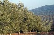 Carlos Cabanas: El esfuerzo del sector del olivar ha situado a España como primera potencia mundial en los mercados internacionales. Foto: Ministerio de Agricultura, Alimentación y Medio Ambiente