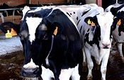 El Ministerio de Agricultura, Alimentación y Medio Ambiente suscribe cuatro Convenios con las asociaciones de criadores para la custodia del material genético de raza bovina y caprina. Foto: Ministerio de Agricultura, Alimentación y Medio Ambiente