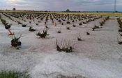 La tormenta de granizo produce daños catastróficos en las explotaciones agrarias de la región. Foto: ASAJA CLM.
