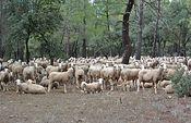 El Gobierno regional colabora en la investigación tecnológica para mejorar la eficacia del ordeño de ovejas de raza manchega. Foto: JCCM.