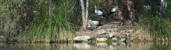 Ejemplares de cigüeña blanca en la Reserva. Fotografía: Álvaro Díaz Villamil/ Ayuntamiento de Azuqueca de Henares