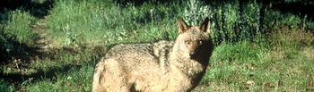 Imagen de archivo de un ejemplar de lobo ibérico.