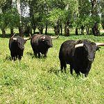 Toros bravos de la ganadería de Samuel Flores en la finca El Palomar, en Povedilla (Albacete).