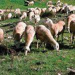 Bolaños de Calatrava es un centro destacado de ganado ovino, con abundante producción de leche y carne.