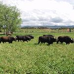 Toros de la ganadería de Samuel Flores en la finca El Palomar, en Povedilla (Albacete).
