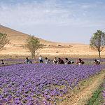 Irán es uno de los principales productores de azafrán del mundo, aunque muy lejos de la calidad del azafrán manchego.