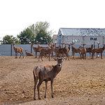 Granja experimental de ciervos que la Universidad de Castilla-La Mancha mantiene en la Ctra. de las Peñas, en Albacete.
