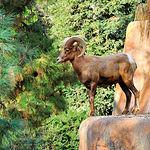 Tanto en rececho como en montería, el muflón es una de las especies a batir en caza mayor.