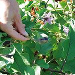Imagen de la planta del fruto de la Berenjena en su proceso inicial.