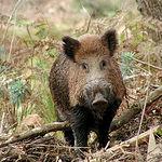 El jabalí es uno de los grandes trofeos de caza mayor en Castilla-La Mancha.
