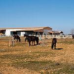 La finca está acondicionada para proporcionar al visitante un recorrido mezcla de enología y turismo rural de calidad. En la imagen, caballos de Pura Raza Española de Capa Negra.