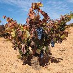 En la provincia de Ciudad Real se localiza el 35% del viñedo de Castilla-La Mancha.