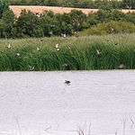 Malvasía cabeciblanca, una de las especies en peligro de extinción que se encuentra en los Planes de Recuperación.