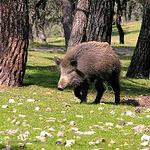 El jabalí y el ciervo son las especies autóctonas más emblemáticas de CLM en caza mayor. En la imagen, un jabalí.