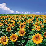 Parte de la producción agraria de la Región podrá ser destinada a la transformación de productos agroenergéticos.