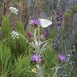 Las características del cardo hace que esta planta sea idónea como cultivo energético.
