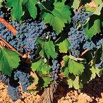 El consumo moderado de vino, unido a la dieta mediterránea, conlleva un aumento de los ácidos grasos Omega-3.