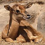 El Grupo de Biología de la Reproducción consiguió el primer nacimiento de una gacela africana en peligro de extinción a través de la técnica de reproducción asistida. En la imagen, la gacela mencionada.