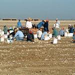 Durante julio y agosto, la mayoría de pueblos que se dedican al cultivo del ajo se llenan de mano externa.