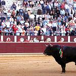"""""""Gastasuelas"""", de la ganadería Marqués de Domecq, fue indultado en la Plaza de Toros de Albacete."""