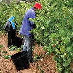 El mercado del vino genera en la Región unos 9 millones de jornales al año, equivalente a 38.000 puestos de trabajo.