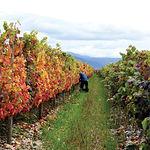 La vid en Castilla-La Mancha es el cultivo más importante en cuanto a extensión se refiere, con unas 600.000 ha.