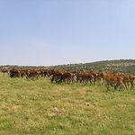 Grupo de varetos en una explotación de cría controlada de ciervos ibéricos de la Universidad de Castilla-La Mancha.