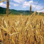 Campos de trigo en Castilla-La Mancha.