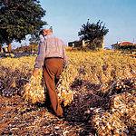 Aunque en los últimos años había descendido la producción, actualmente CLM ha aumentado la superficie de cultivo.