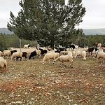 Serranía de Cuenca - Corderos