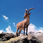 La fauna de la Sierra de Alcaraz mantiene una gran variedad de especies animales. En la imagen, una cabra montés.
