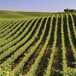 La tipología de sus suelos y un clima de grandes contrastes han favorecido el cultivo de las viñas.