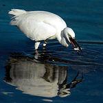 Las aves acuáticas escogen estos humedales para criar e invernar. Foto: Garza Real pescando.
