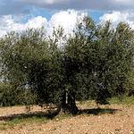Los campos de olivos constituyen el paisaje habitual de la zona.