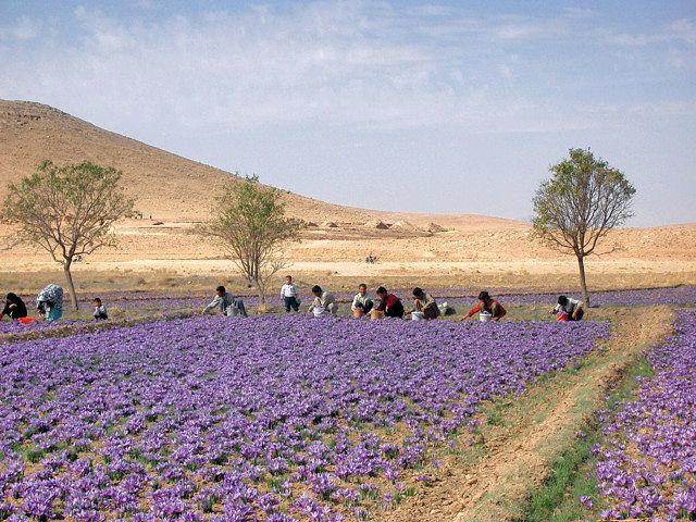 Azafran De La Mancha Oro En Hebras Noticias De Agricultura La - Cultivo-azafran