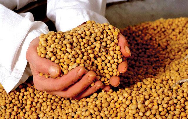 Los vegetales transgénicos de mayor importancia para la industria alimentaria son la soja resistente al herbicida glifosato y el maíz resistente al insecto taladro, seguidos del algodón y la colza. Foto: Soja.