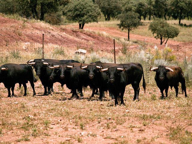 """""""Los Samueles"""" esperan repetir el histórico triunfo que supuso su presencia en la Feria de Albacete del año 2007."""