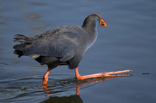 En los últimos años las Lagunas de Ruidera se han visto colonizadas por una especie de ave singular como es el calamón, en la imagen.