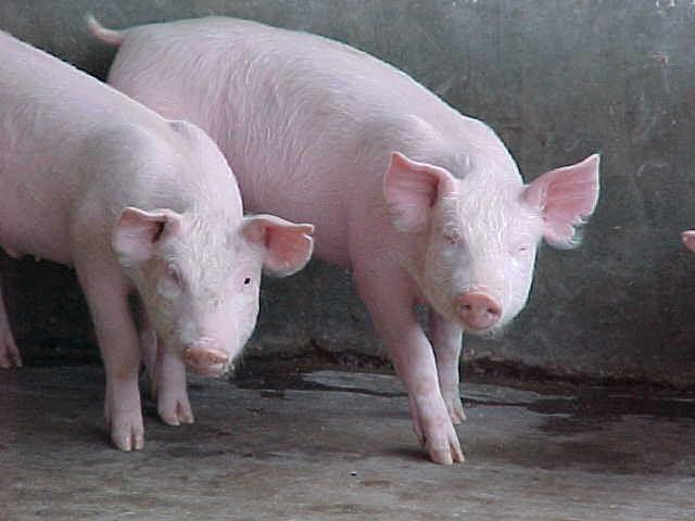 Cerdos.