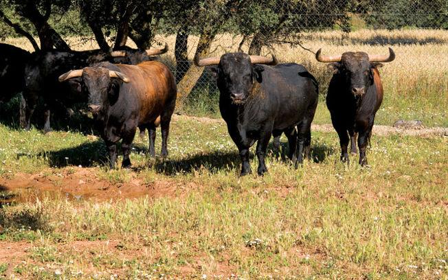 Toros de la ganadería de Samuel Flores. Los toros del ganadero Samuel Flores no podrán estar este año en la Feria de Albacete.